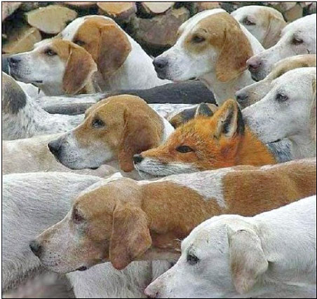 Fuchs in der Hundemeute
